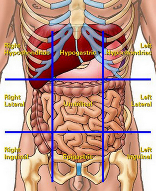 organs in the abdominal quadrants (liver pain)