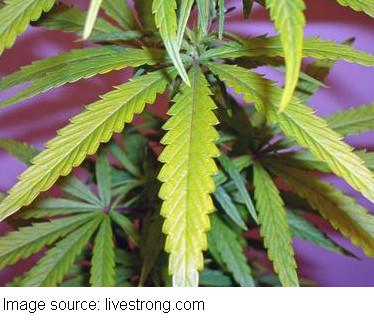marijuanaleaves