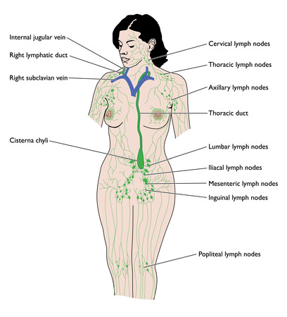 lymph nodes | definition, distribution, significance and treatment, Human Body