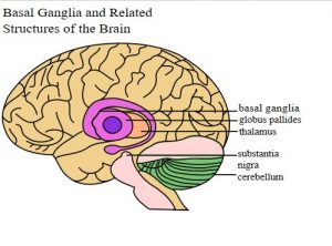 Tourette Syndrome Basal Ganglia and Related Structures